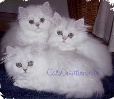 3_Persian_Kittens_together