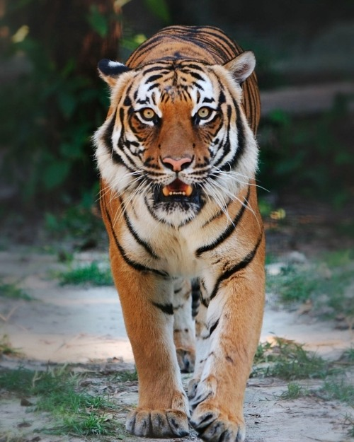 indochina tiger